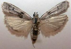 brasnenimoljac